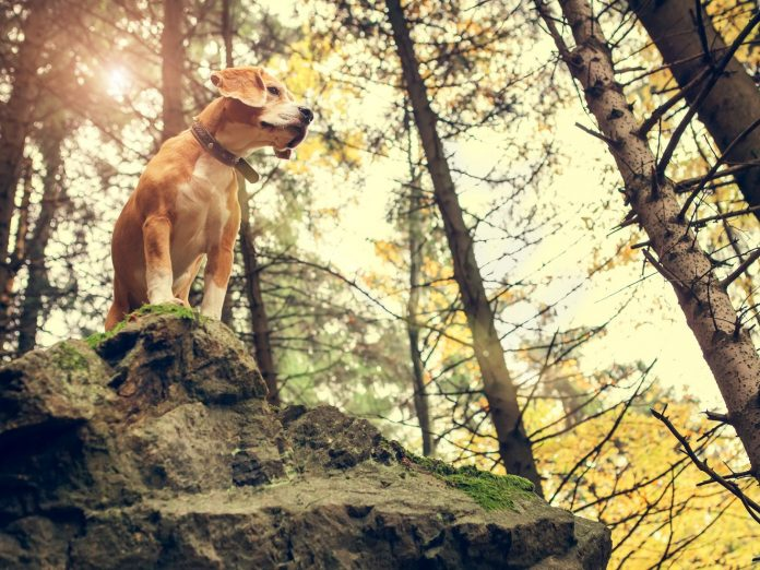 The Cougar Crest Trail is a dog-friendly hike in Big Bear.